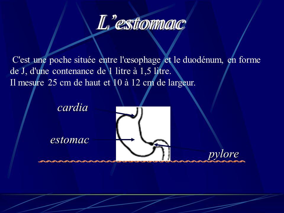 C'est une poche située entre l'œsophage et le duodénum, en forme de J, d'une contenance de 1 litre à 1,5 litre. Il mesure 25 cm de haut et 10 à 12 cm