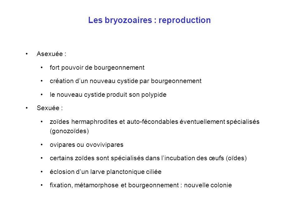 Les bryozoaires : reproduction •Asexuée : •fort pouvoir de bourgeonnement •création d'un nouveau cystide par bourgeonnement •le nouveau cystide produi
