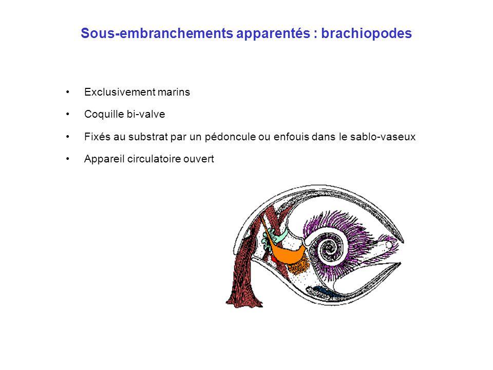 Sous-embranchements apparentés : brachiopodes •Exclusivement marins •Coquille bi-valve •Fixés au substrat par un pédoncule ou enfouis dans le sablo-va