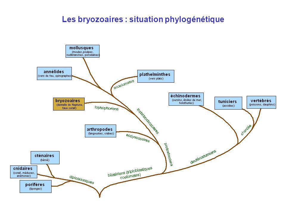 Les bryozoaires : situation phylogénétique
