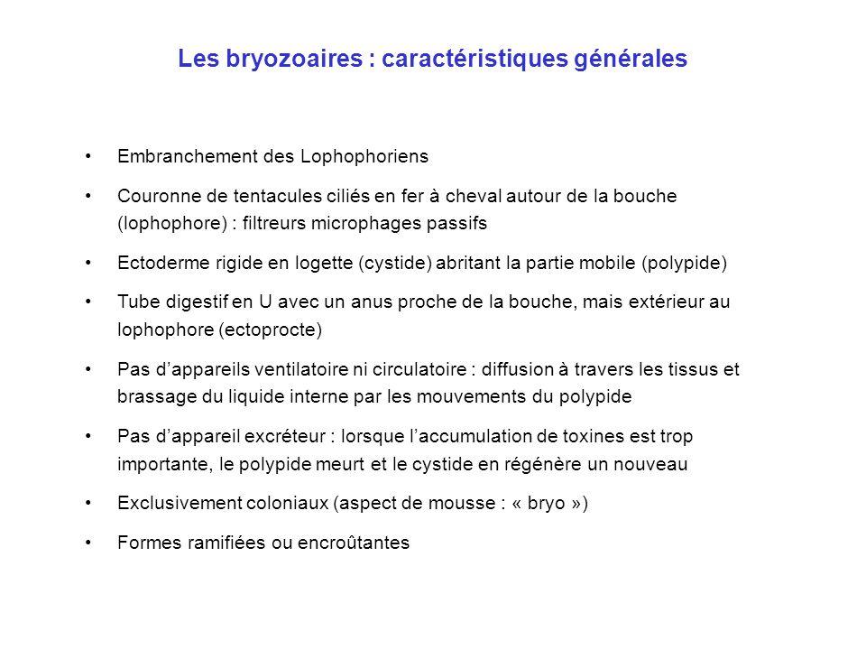 Les bryozoaires : caractéristiques générales •Embranchement des Lophophoriens •Couronne de tentacules ciliés en fer à cheval autour de la bouche (loph