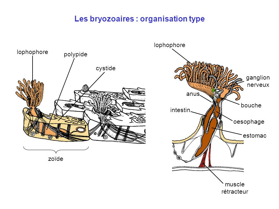 Les bryozoaires : organisation type zoïde cystide polypide lophophore bouche anus muscle rétracteur lophophore intestin oesophage estomac ganglion ner