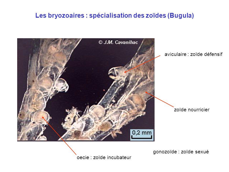 Les bryozoaires : spécialisation des zoïdes (Bugula) oecie : zoïde incubateur zoïde nourricier aviculaire : zoïde défensif gonozoïde : zoïde sexué