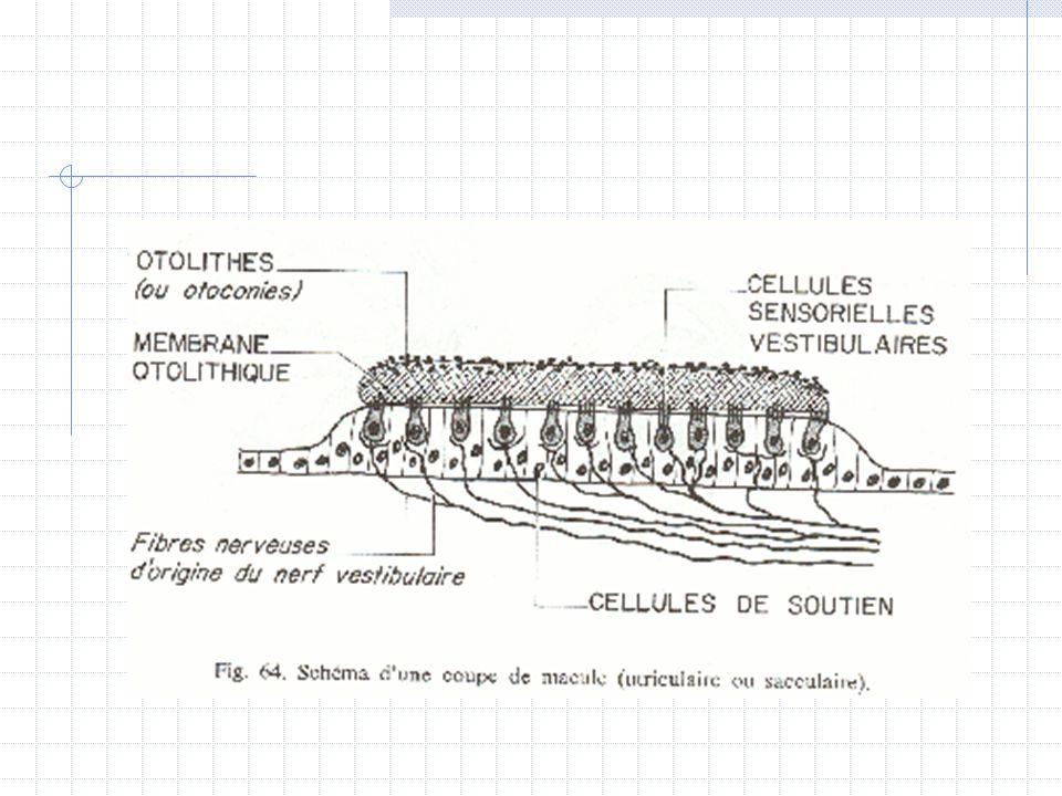 Physiologie Oreille (suite) Equilibre :  Canaux semi-circulaires  Vestibule  Nerfs vestibulaires