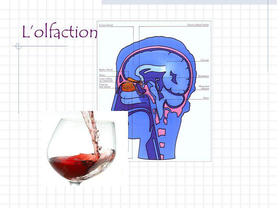 Physiologie Nez Olfaction :  Courant aérien : transport des molécules « odorantes » vers les cellules neurosensorielles  Stimulation : cellules olfactives, bulbe olfactif, thalamus, cortex