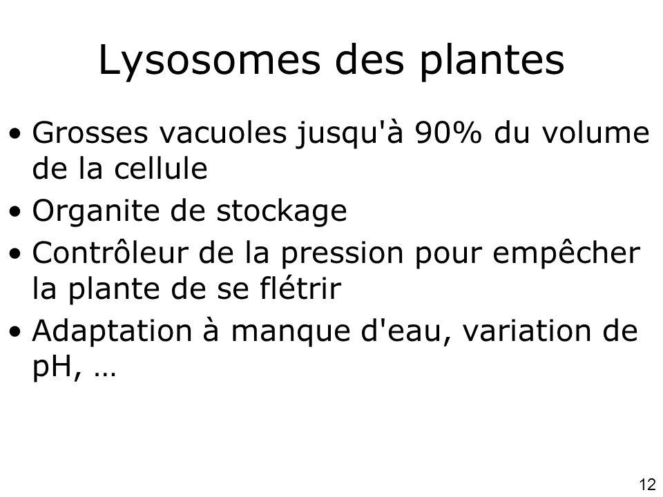12 Lysosomes des plantes •Grosses vacuoles jusqu à 90% du volume de la cellule •Organite de stockage •Contrôleur de la pression pour empêcher la plante de se flétrir •Adaptation à manque d eau, variation de pH, …