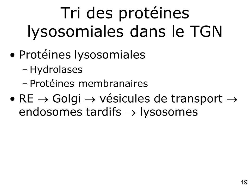 19 Tri des protéines lysosomiales dans le TGN •Protéines lysosomiales –Hydrolases –Protéines membranaires •RE  Golgi  vésicules de transport  endosomes tardifs  lysosomes