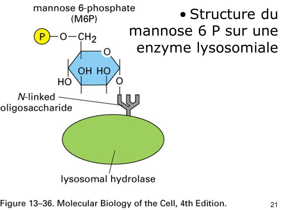 21 fig 13-36 •Structure du mannose 6 P sur une enzyme lysosomiale