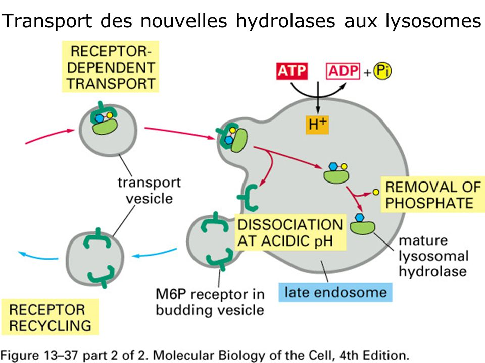 24 Fig 13-37 (2 de 2) •Transport des nouvelles hydrolases aux lysosomes