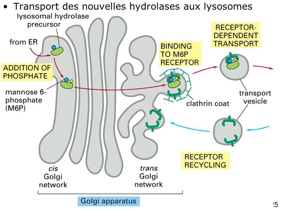 25 Fig 13-37 (1 de 2) •Transport des nouvelles hydrolases aux lysosomes