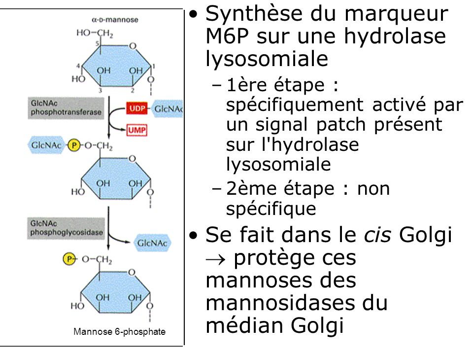 29 Fig 13-24 3 ème éd Mannose 6-phosphate •Synthèse du marqueur M6P sur une hydrolase lysosomiale –1ère étape : spécifiquement activé par un signal patch présent sur l hydrolase lysosomiale –2ème étape : non spécifique •Se fait dans le cis Golgi  protège ces mannoses des mannosidases du médian Golgi