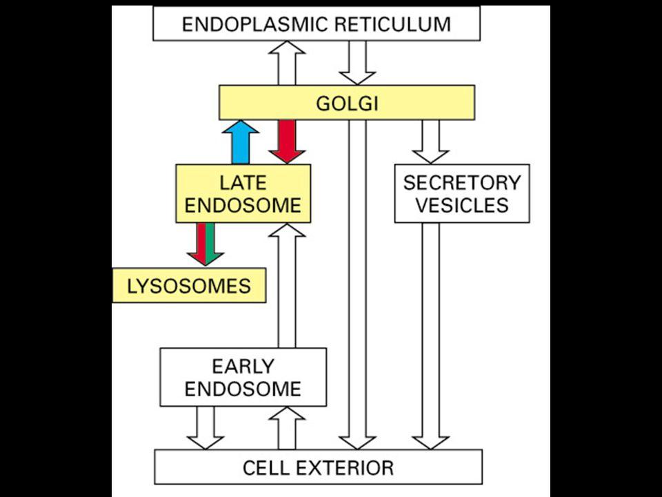 5 A la sortie du réseau trans du Golgi •Lysosomes  mécanisme connu •Membrane plasmique  mécanisme inconnu •Sécrétion  mécanisme mal connu •