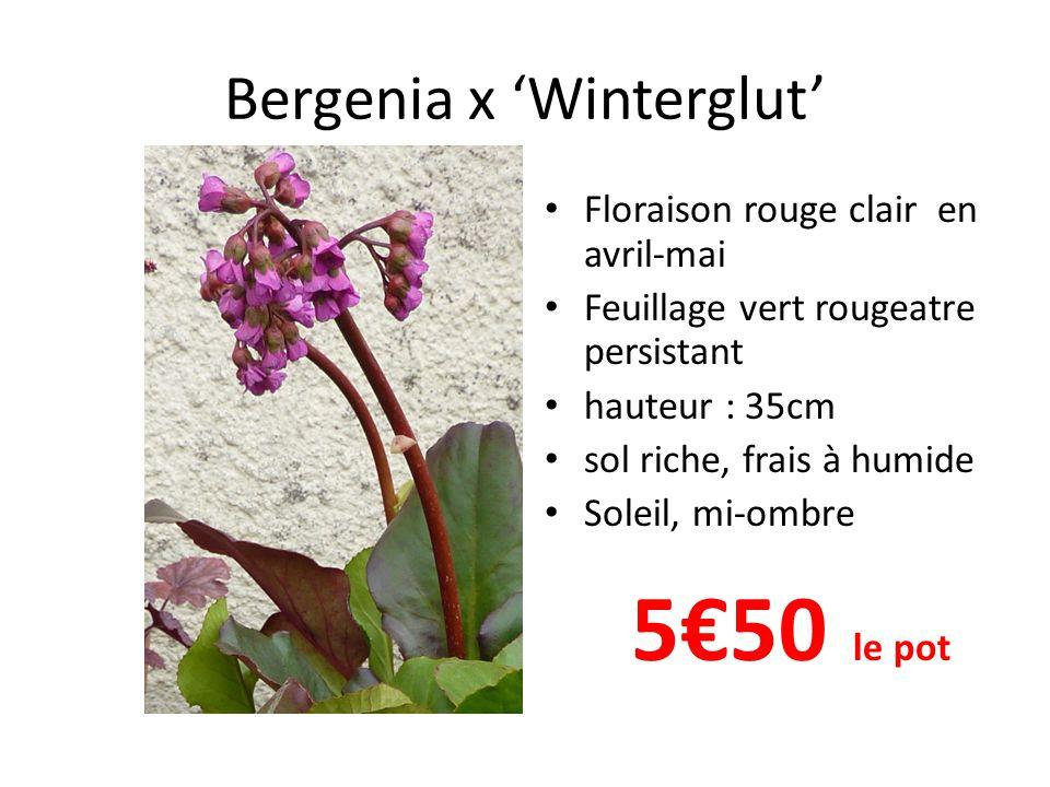 Bergenia x 'Winterglut' • Floraison rouge clair en avril-mai • Feuillage vert rougeatre persistant • hauteur : 35cm • sol riche, frais à humide • Soleil, mi-ombre 5€50 le pot