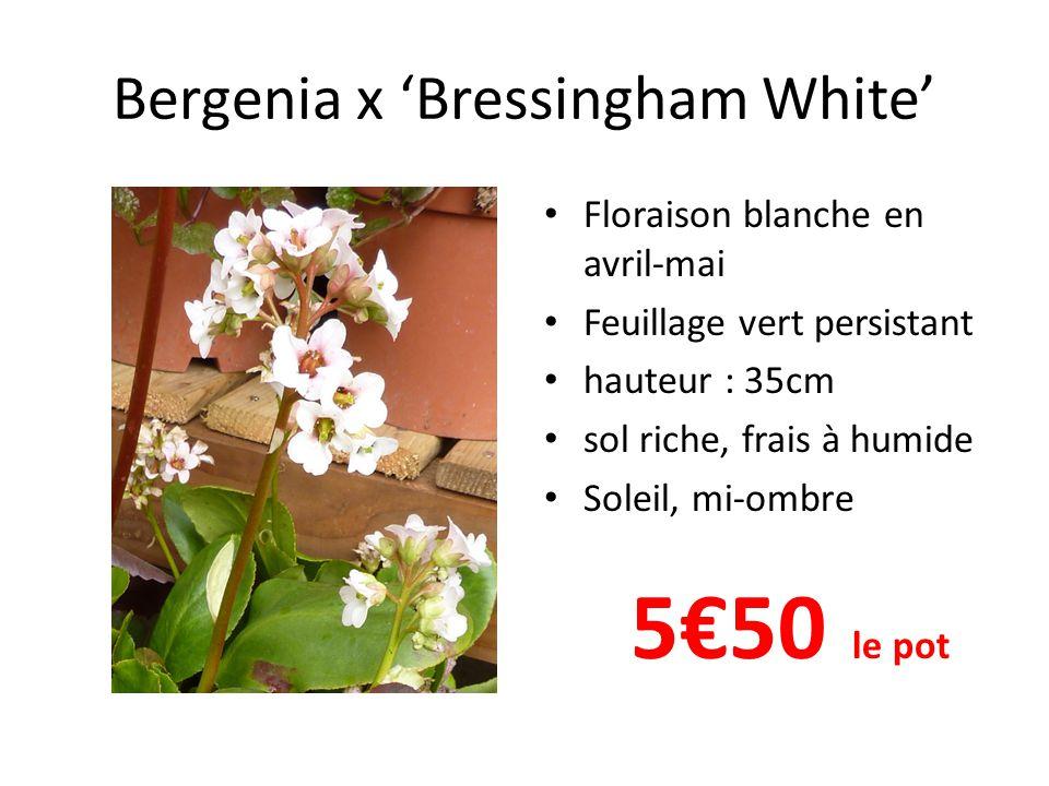 Bergenia x 'Bressingham White' • Floraison blanche en avril-mai • Feuillage vert persistant • hauteur : 35cm • sol riche, frais à humide • Soleil, mi-ombre 5€50 le pot