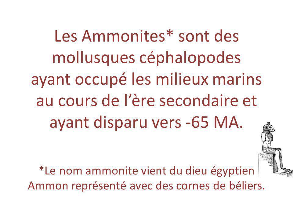 Les Ammonites* sont des mollusques céphalopodes ayant occupé les milieux marins au cours de l'ère secondaire et ayant disparu vers -65 MA. *Le nom amm