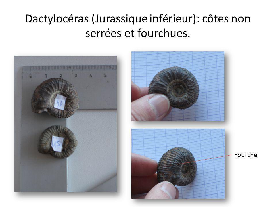 Dactylocéras (Jurassique inférieur): côtes non serrées et fourchues. Fourche