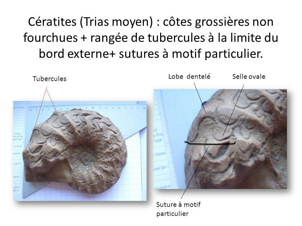 Cératites (Trias moyen) : côtes grossières non fourchues + rangée de tubercules à la limite du bord externe+ sutures à motif particulier. Tubercules S