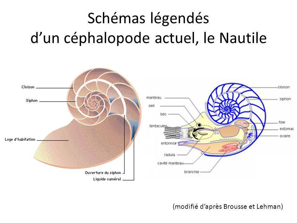 Néocomites (Crétacé inférieur): côtes fines ou serrées et fourchues. Fourches