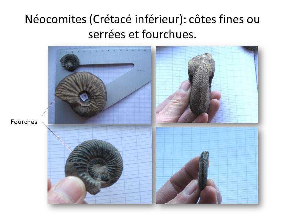 Peltocéras (Jurassique moyen): côtes grossières, non fourchues, 2 rangées de tubercules. Carène