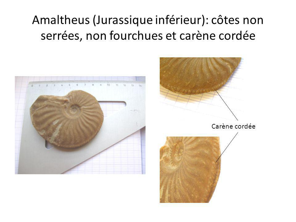 Amaltheus (Jurassique inférieur): côtes non serrées, non fourchues et carène cordée Carène cordée