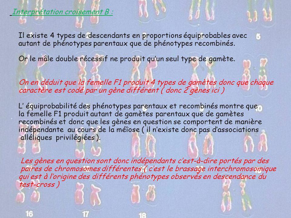 Interprétation croisement B : Il existe 4 types de descendants en proportions équiprobables avec autant de phénotypes parentaux que de phénotypes reco