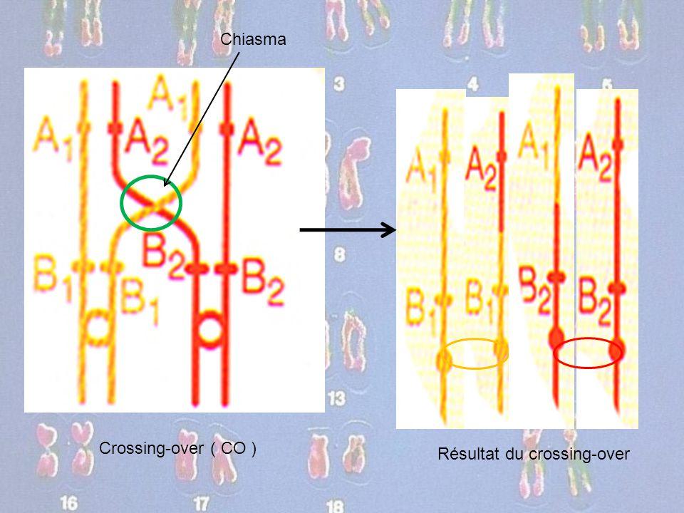 Chiasma Crossing-over ( CO ) Résultat du crossing-over