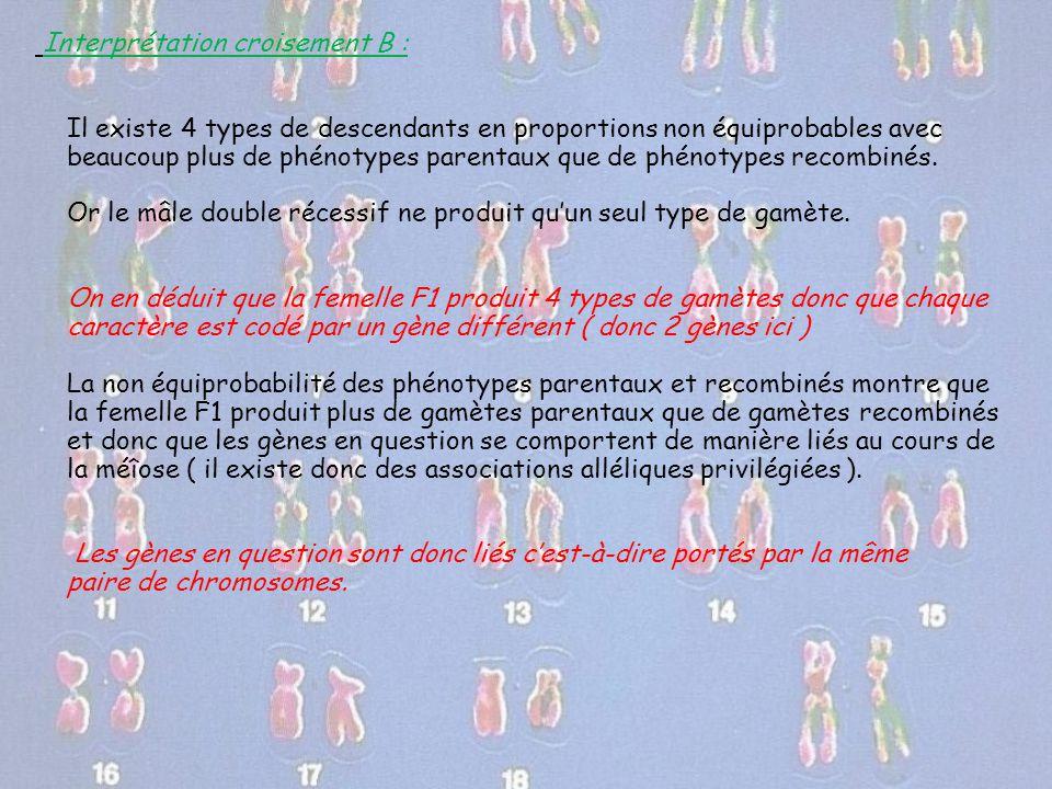 Interprétation croisement B : Il existe 4 types de descendants en proportions non équiprobables avec beaucoup plus de phénotypes parentaux que de phén