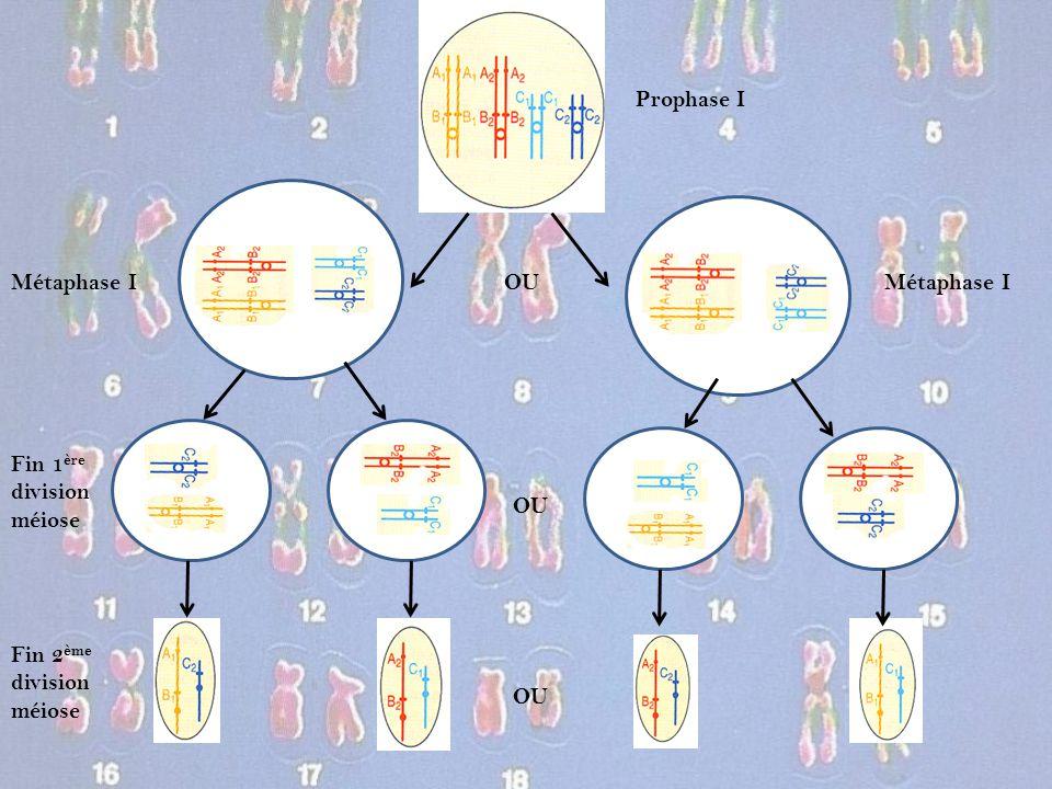 Prophase I Métaphase I OU Fin 1 ère division méiose Fin 2 ème division méiose