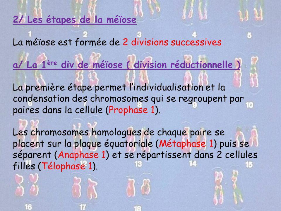 2/ Les étapes de la méïose La méïose est formée de 2 divisions successives a/ La 1 ère div de méïose ( division réductionnelle ) La première étape per