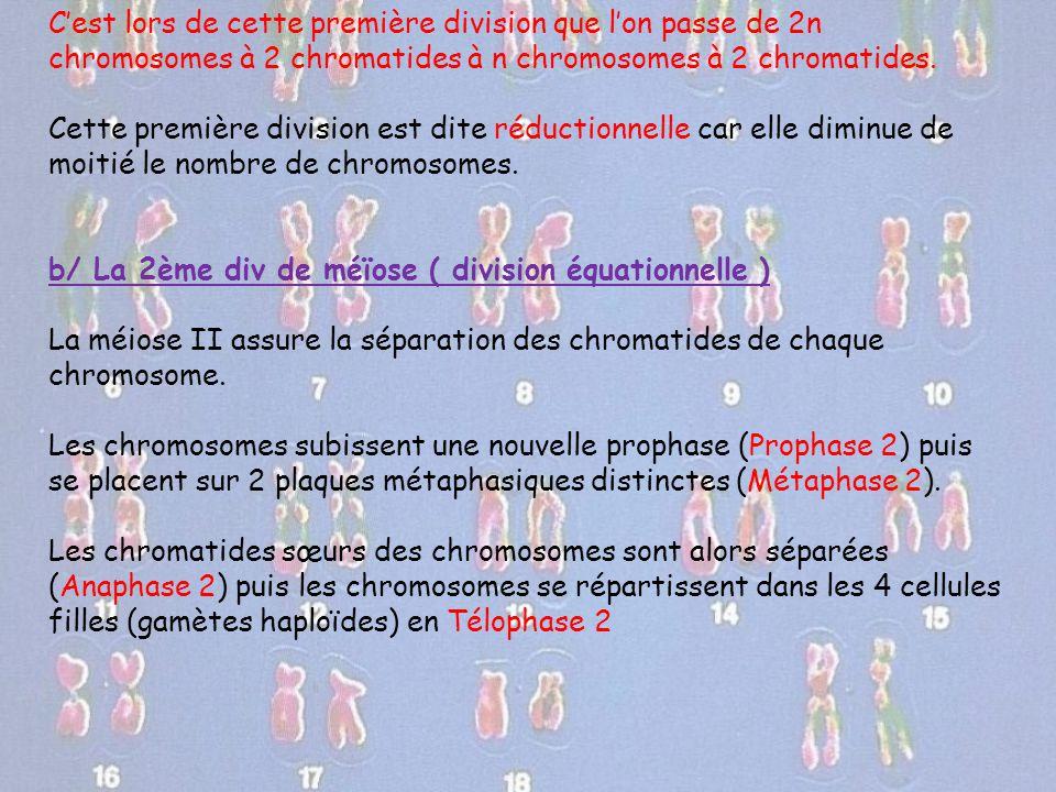 C'est lors de cette première division que l'on passe de 2n chromosomes à 2 chromatides à n chromosomes à 2 chromatides. Cette première division est di