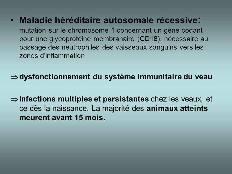 •Maladie héréditaire autosomale récessive : mutation sur le chromosome 1 concernant un gène codant pour une glycoprotéine membranaire (CD18), nécessai