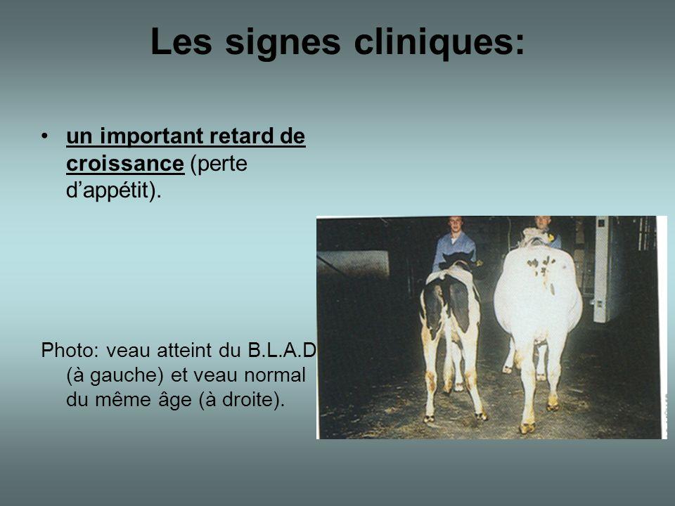 Les signes cliniques: •un important retard de croissance (perte d'appétit). Photo: veau atteint du B.L.A.D. (à gauche) et veau normal du même âge (à d