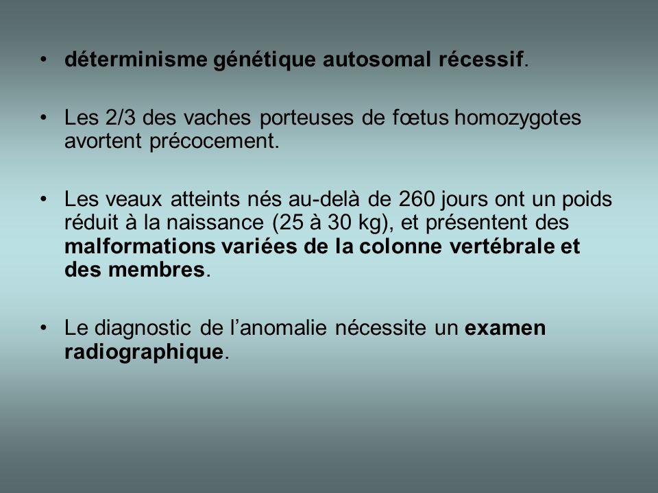 •déterminisme génétique autosomal récessif. •Les 2/3 des vaches porteuses de fœtus homozygotes avortent précocement. •Les veaux atteints nés au-delà d