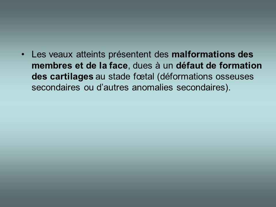 •Les veaux atteints présentent des malformations des membres et de la face, dues à un défaut de formation des cartilages au stade fœtal (déformations