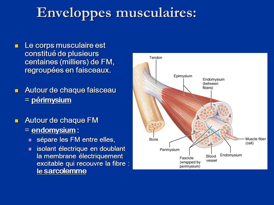 Enveloppes musculaires:  Le corps musculaire est constitué de plusieurs centaines (milliers) de FM, regroupées en faisceaux.  Autour de chaque faisc