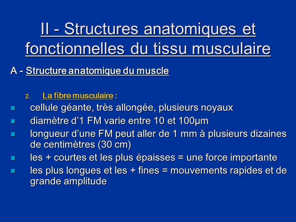 II - Structures anatomiques et fonctionnelles du tissu musculaire A - Structure anatomique du muscle 2. La fibre musculaire :  cellule géante, très a
