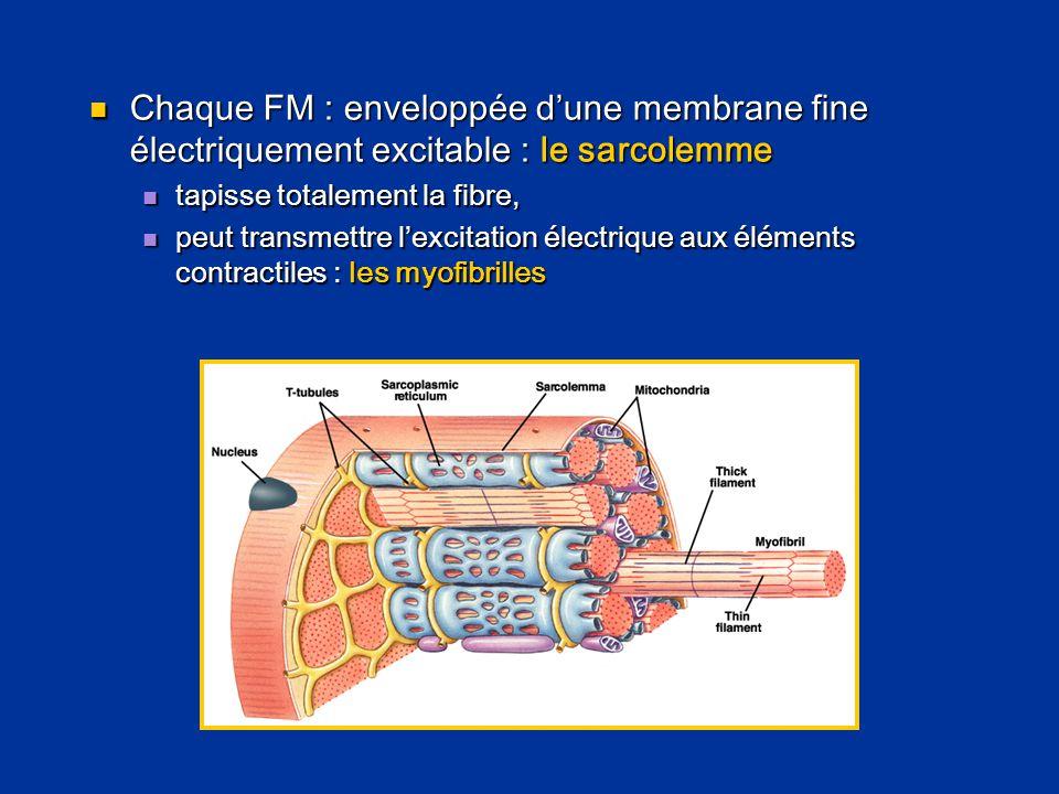  Chaque FM : enveloppée d'une membrane fine électriquement excitable : le sarcolemme  tapisse totalement la fibre,  peut transmettre l'excitation é