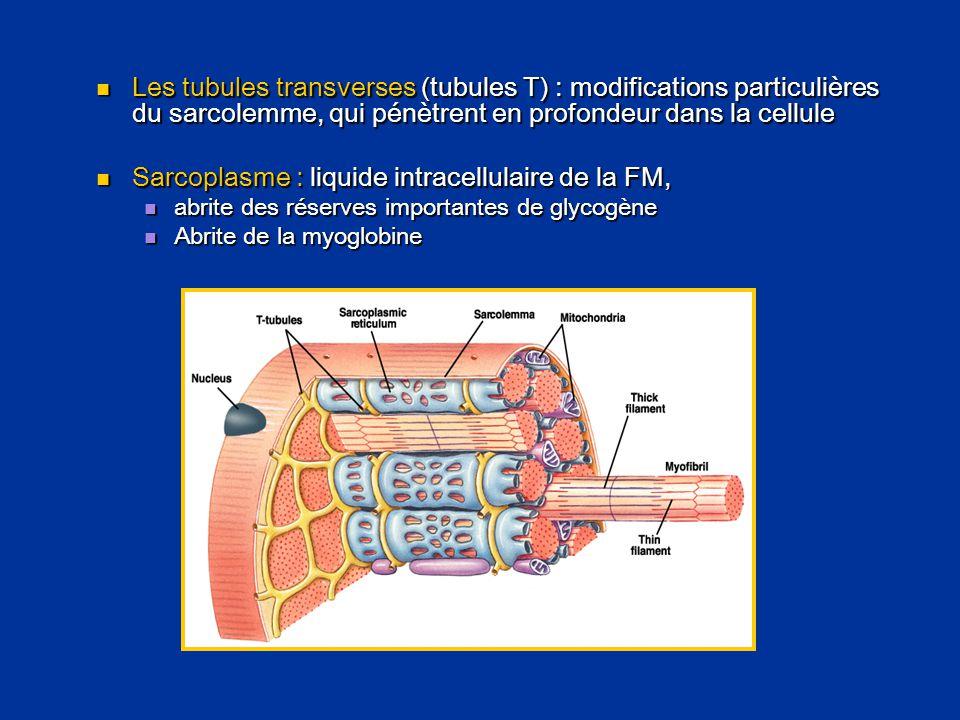  Les tubules transverses (tubules T) : modifications particulières du sarcolemme, qui pénètrent en profondeur dans la cellule  Sarcoplasme : liquide