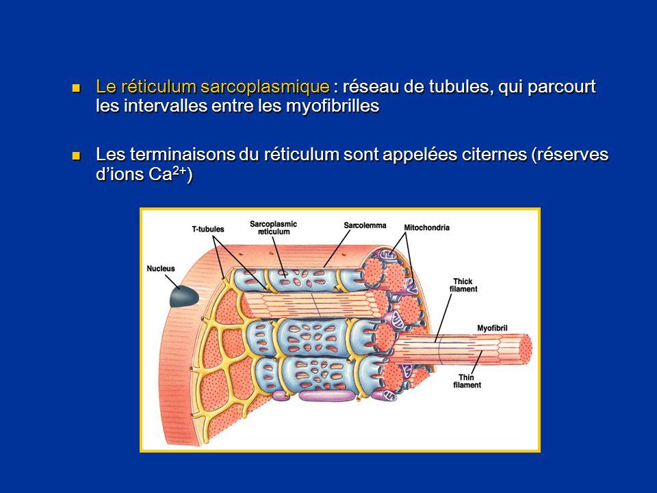  Le réticulum sarcoplasmique : réseau de tubules, qui parcourt les intervalles entre les myofibrilles  Les terminaisons du réticulum sont appelées c