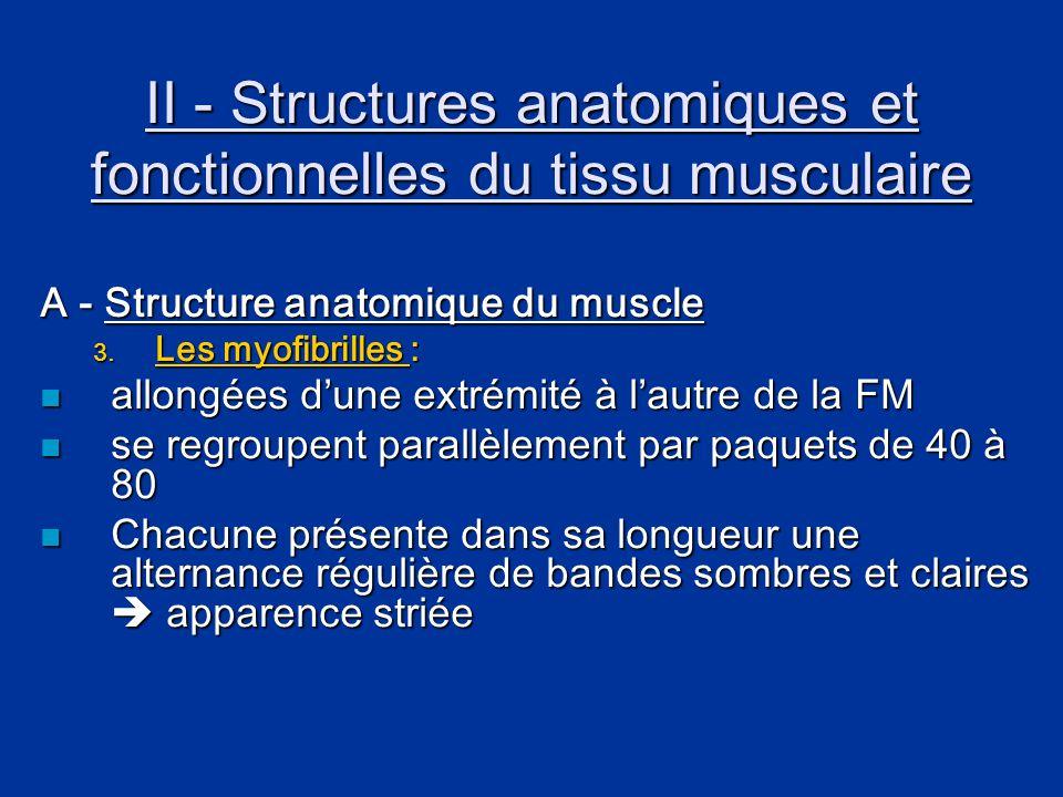 II - Structures anatomiques et fonctionnelles du tissu musculaire A - Structure anatomique du muscle 3. Les myofibrilles :  allongées d'une extrémité