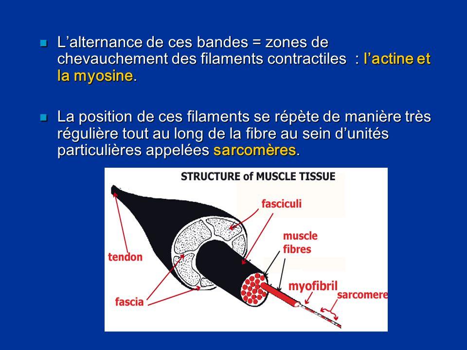  L'alternance de ces bandes = zones de chevauchement des filaments contractiles : l'actine et la myosine.  La position de ces filaments se répète de