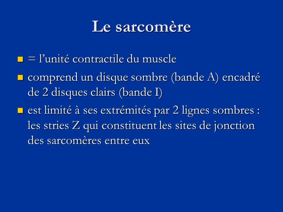 Le sarcomère  = l'unité contractile du muscle  comprend un disque sombre (bande A) encadré de 2 disques clairs (bande I)  est limité à ses extrémit
