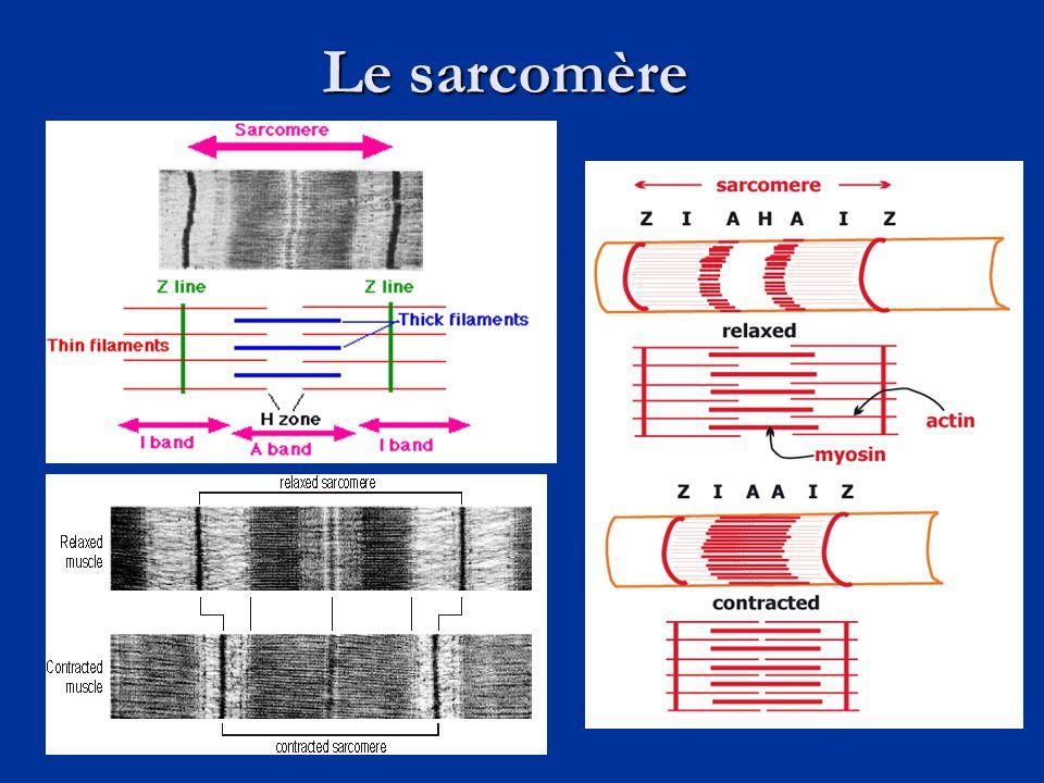 Le sarcomère
