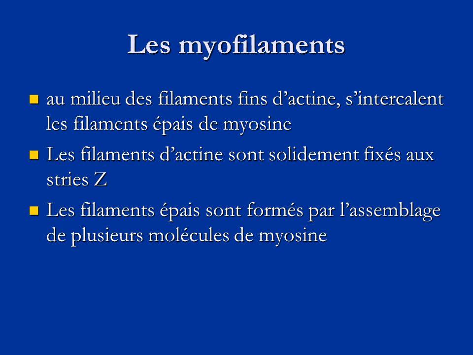 Les myofilaments  au milieu des filaments fins d'actine, s'intercalent les filaments épais de myosine  Les filaments d'actine sont solidement fixés