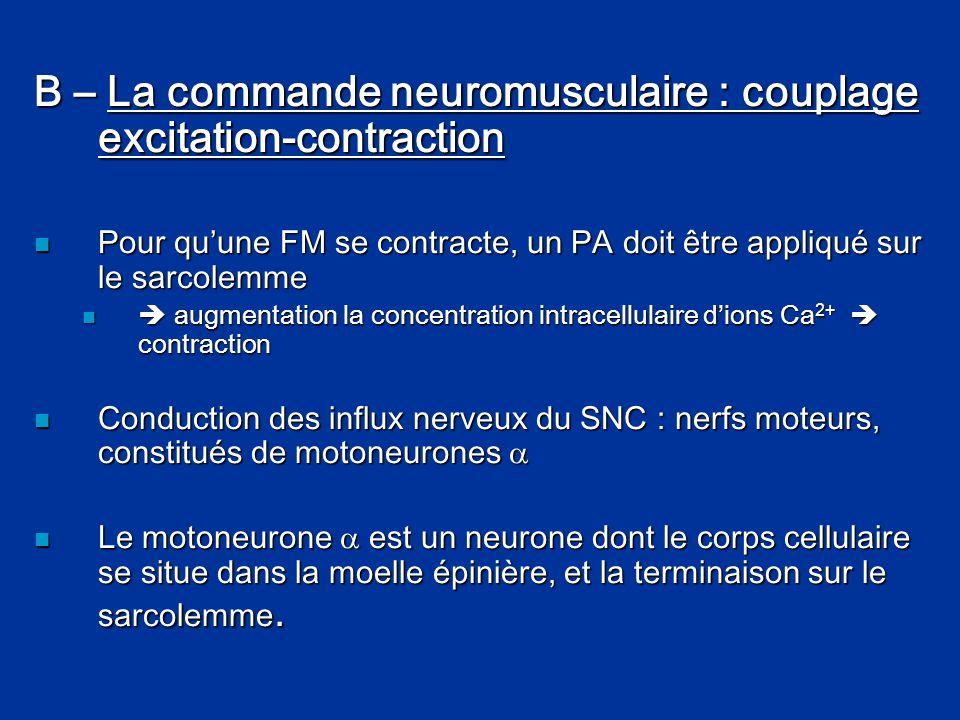 B – La commande neuromusculaire : couplage excitation-contraction  Pour qu'une FM se contracte, un PA doit être appliqué sur le sarcolemme   augmen