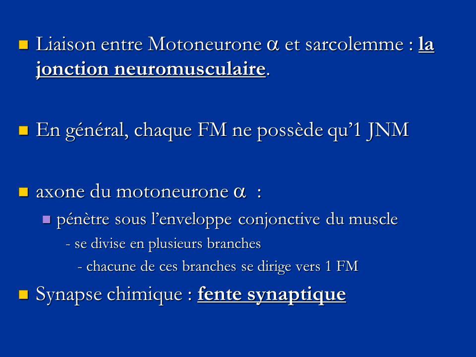  Liaison entre Motoneurone  et sarcolemme : la jonction neuromusculaire.  En général, chaque FM ne possède qu'1 JNM  axone du motoneurone  :  pé