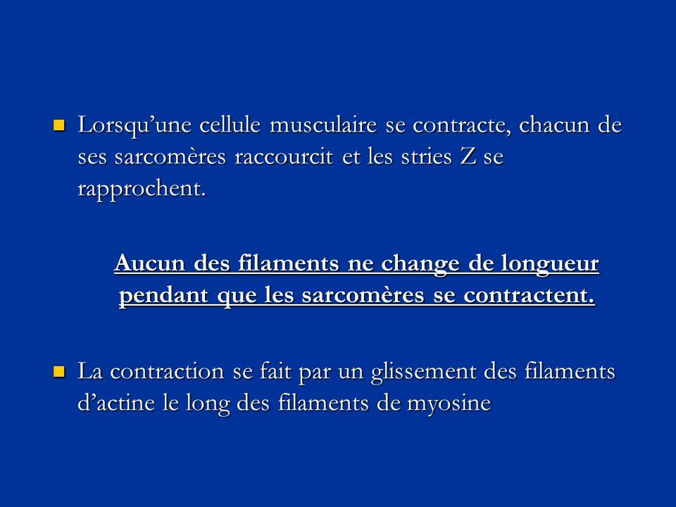  Lorsqu'une cellule musculaire se contracte, chacun de ses sarcomères raccourcit et les stries Z se rapprochent. Aucun des filaments ne change de lon