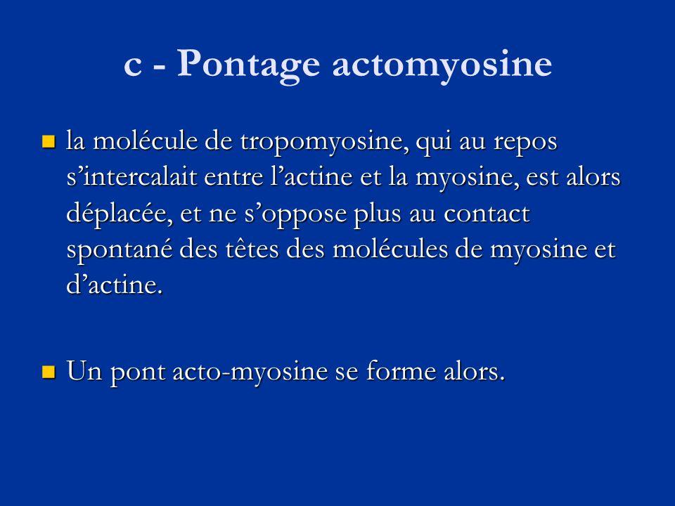 c - Pontage actomyosine  la molécule de tropomyosine, qui au repos s'intercalait entre l'actine et la myosine, est alors déplacée, et ne s'oppose plu