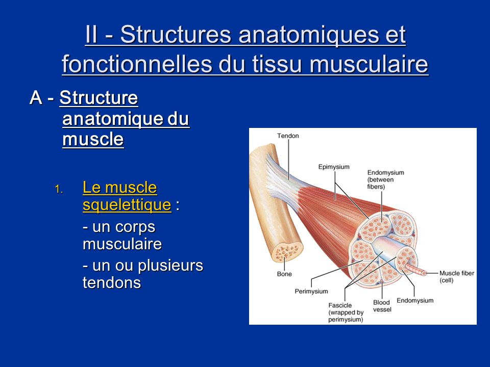 II - Structures anatomiques et fonctionnelles du tissu musculaire A - Structure anatomique du muscle 1. Le muscle squelettique : - un corps musculaire