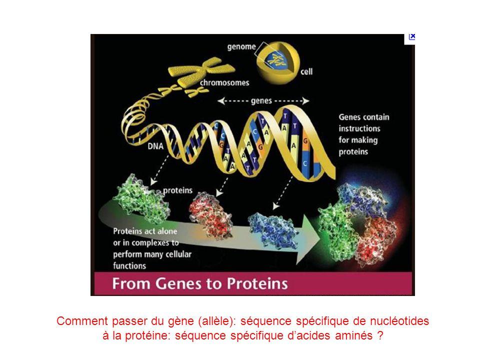 Comment passer du gène (allèle): séquence spécifique de nucléotides à la protéine: séquence spécifique d'acides aminés ?